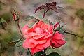 Mawar Merah.jpg