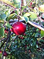 McIntosh apple tree and fruit.jpg
