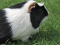 Meerschweinchen-Flecki-IMG 8004.jpg