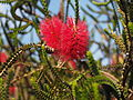 Melaleuca coccinea (leaves and flowers).JPG
