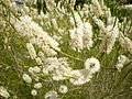 Melaleuca huegelii 2c.JPG
