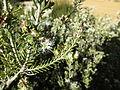 Melaleuca ordinifolia (leaves and flowers).JPG
