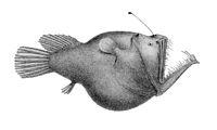 Melanocetus murrayi (Murrays abyssal anglerfish)