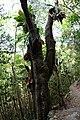 Melicoccus bijugatus tree.jpg