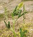 Melilotus indicus flower (09).jpg