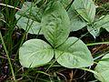 Menyanthes trifoliata20130727 060.jpg