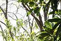 Merops ornatus (24242094719).jpg