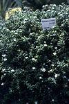 Mesembrianthemum ecklonis WPC