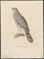 Micronisus gabar - 1700-1880 - Print - Iconographia Zoologica - Special Collections University of Amsterdam - UBA01 IZ18300149.tif