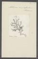 Millepora compressa - - Print - Iconographia Zoologica - Special Collections University of Amsterdam - UBAINV0274 111 07 0005.tif