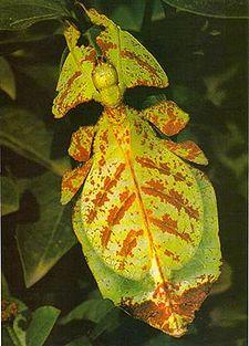 Phyllium             bioculatum, samice