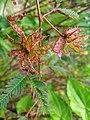Mimosa pudica (Fabaceae) 11.jpg