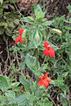 Mimulus cardinalis Scarlet monkeyflower plant.jpg