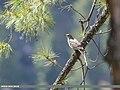 Mistle Thrush (Turdus viscivorus) (49304875218).jpg