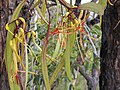 Mistletoe Muellerina eucalypoides 1.jpg
