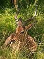 Mkuze impala.jpg