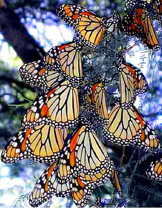 Amistad National Recreation Area - Image: Monarch Butterfliesat Amistad NRA