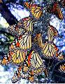 MonarchButterfliesatAmistadNRA.jpg
