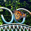 Monarch Butterfly in Louisiana (27224446353).jpg