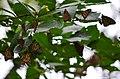 Monarchs roosting on an elm tree (30331247898).jpg