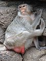 Monkey at Prang Sam Yot (Monkey Temple) - Lop Buri - Thailand - 03 (35028544595).jpg