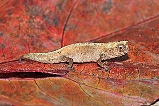 Mount dAmbre leaf chameleon Species of reptile