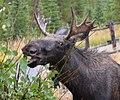 Montana Moose Lunch.jpg
