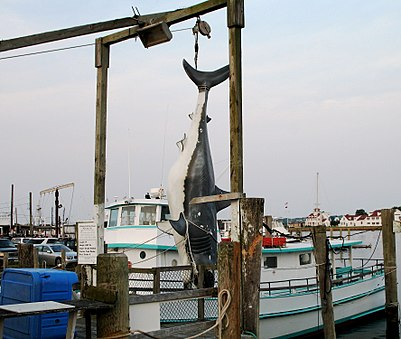 A fiberglass copy of the 3,427-pound (1,554 kg) 17-foot-long (5.2 m) Great white shark on the Lake Montauk waterfront. It is claimed to have been the biggest great white caught by rod and reel. Montauk-shark.jpg