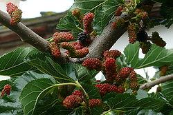 Maulbeerbaum mit Früchten und Blättern