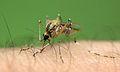 Mosquito on arm.jpg
