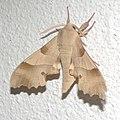 Moth 0093.jpg
