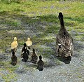 Mother Duck with Ducklings (15543938409).jpg