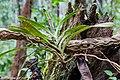 Mount-Silam Lahad-Datu Sabah Flora-of-Mount-Silam-01.jpg