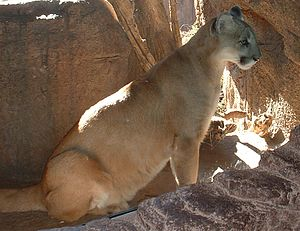 A mountain lion at the Arizona-Sonora Desert M...