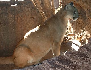 Onza cryptid feline species similar to a cougar