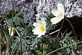 Mountain avens (Dryas octopetala) in The Burren. - geograph.org.uk - 65183.jpg