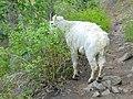 Mountain goat departing on Timpanooke Trail, Jun 16.jpg