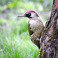 Mrs woodpecker (29791797956).jpg