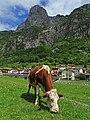 Mucca al pascolo a Timau (Carnia) Udine.jpg