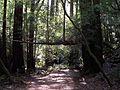 Muir Woods National Monument - Coast Redwood (Sequoia sempervirens) - Flickr - Jay Sturner (1).jpg