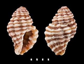 <i>Muricopsis deformis</i> Species of gastropod