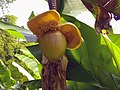 Musaceae flower, Bambouseraie de Prafrance.jpg