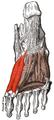 Musculus flexor hallucis brevis.png