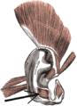 Musculusantitragicus.png