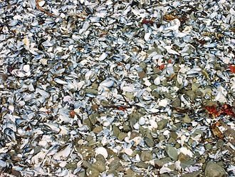 Blue mussel - Image: Mussels on beach 20030601