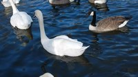 File:Mute swans and Canada geese.webm