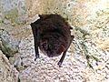 Myotis emarginatus (Geoffroy's bat), Valkenburg aan de geul, the Netherlands.jpg
