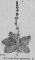 Myriophyllum spicatum.png