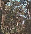 Myrocarpus frondosus.jpg