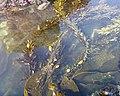 Mysterious kelp.jpg